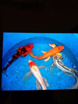 Kerala 39 s own business classified website infomagic for Baby koi fish for sale cheap