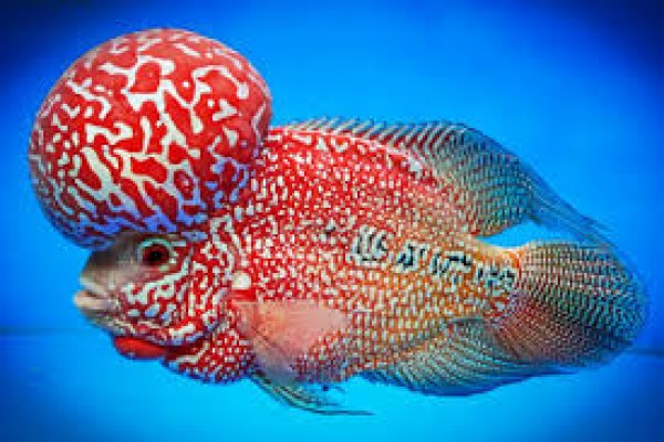 Kerala classifieds kerala business news infomagic for Flowerhorn fish for sale
