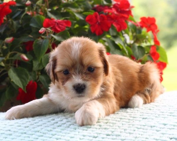 Dog Breed Lhasa Apso Price In India
