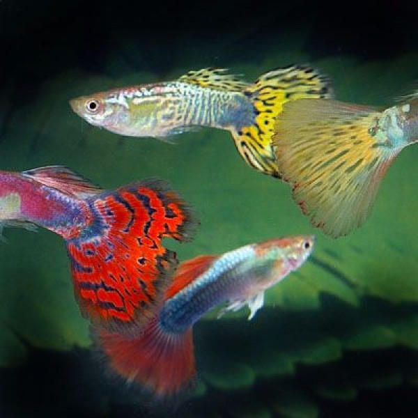 Fancy guppies for sale at ernakulam ernakulam for Guppy fish for sale