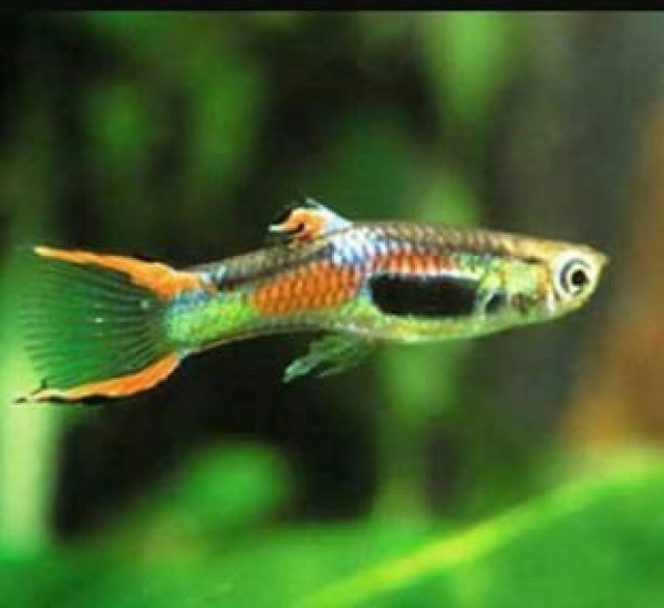 Endler guppy for sale at ernakulam for Endler guppy