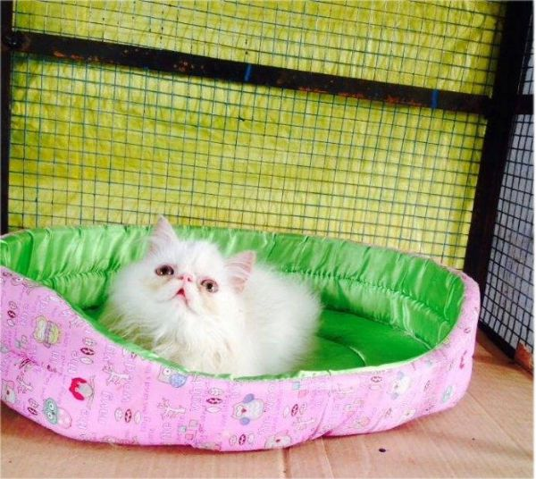 Extreme punch persian kitten for sale at Thrissur ,Thrissur