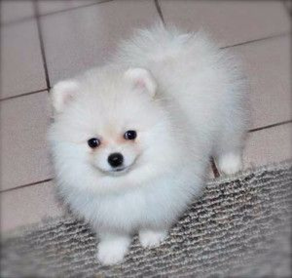 white pomeranian puppies price white pomeranian puppies for sale at palakkad palakkad 1340
