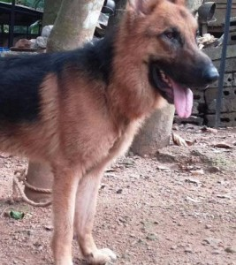 Dogs For Sale In Kerala Pathanamthitta