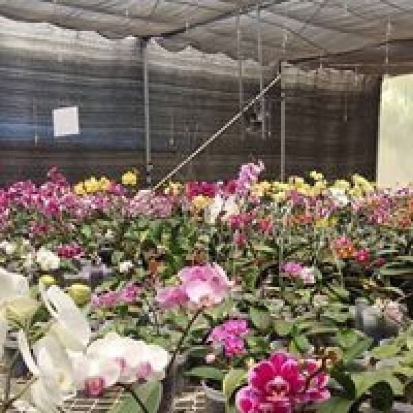 Pearl Orchids in Perinjanam,Kodungallur,Thrissur,Nursery & Other